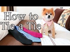 The Charming Gentleman Norman Shows You All the Ins and Outs of Tying a Tie - Funny pictures and memes of dogs doing and implying things. Decorating On A Budget, Brighten Your Day, Pomeranian, Norman, Make Me Smile, Diy Wedding, Gentleman, Teddy Bear, Kawaii