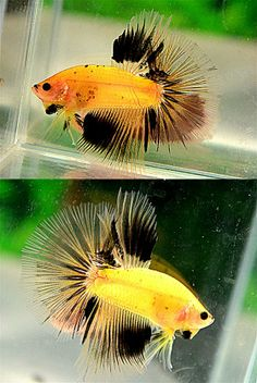AquaBid.com - Item # fwbettashm1390382775 - Yellow Black HM Male - Ends: Wed Jan 22 2014 - 03:26:15 AM CDT