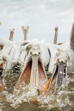 Pelicans in Lake Kerkini, Greece | by Peter Krejzl on 500px