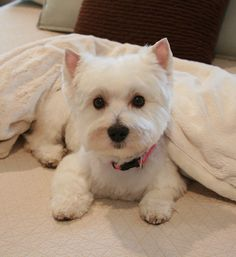 What an absolutely gorgeous Westie.