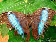 mariposas del amazonas - Buscar con Google