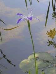 GIARDINO DELL'IRIS A FIRENZE - L'iris è il fiore simbolo di Firenze. Spesso chiamato giaggiolo, o più comunemente giglio (il giglio di Francia, il giglio del gonfalone di Firenze, il giglio della Fiorentina, Firenze 'città gigliata') in realtà è sempre l'iris,  che cresce spontaneamente nella valle dell'Arno e nelle colline intorno a Firenze....