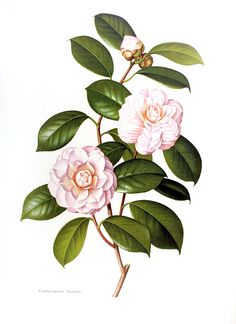 Camellia japonica Incarnata, oh dear, this was so scrumptious that I think I dribbled on it a bit.