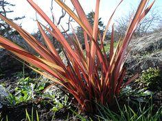 Phormium tenax 'Atropurpureum' (Purple New Zealand Flax ...