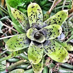 #bromeliads#bromelias#bromeliacea#tropical#garden#jardin#indice#puertorico