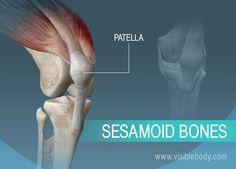 A sesamoid bone of the body, the patella