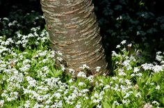 A Ground Cover You Can Grow Under Trees: My sweet woodruff performs just fine in its location under a Kwanzan cherry tree.