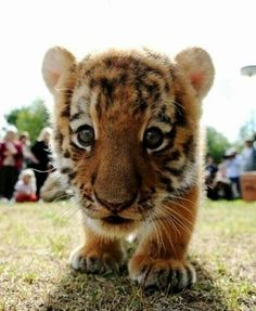 see this cute little tiger there are only about 3,200 tigers left in the world because of poaching and many other reasons