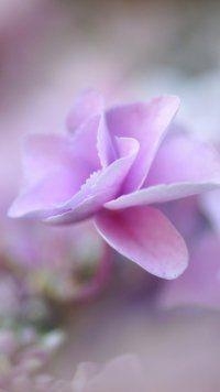 Earth Hydrangea Flowers Mobile Wallpaper