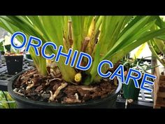 Cymbidium ORCHID CARE : How to Remove old bloom spikes, trim Orchid leaves & new Cymbidium growth