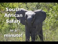 South African Safari in a Minute - Interested to know what its like to experience a safari in South Africa? Then you might enjoy my short 1 minute video - South African Safari in a Minute!