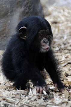 Baby Chimpanzee at the Colchester Zoo Primates, Cute Baby Animals, Animals And Pets, Funny Animals, Strange Animals, Wild Animals, Colchester Zoo, Tier Fotos, Fauna