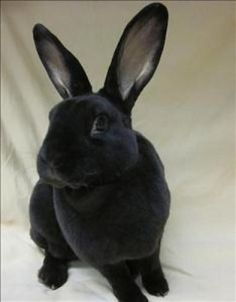 This satin bunny wants to hop in to your life! Adopt Shadow at the MHS Rochester Hills Center for Animal Care.