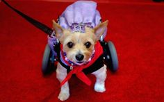 Mango, Therapy Dog Category Winner, attends the Sixth Annual American Humane…