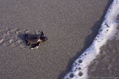 Image Detail for - Loggerhead Turtle hatchling