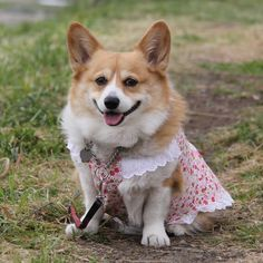 Little pink dresses. | 26 Things That You're Forced To Wear When You're A Corgi
