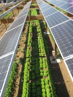 Unlike what is shown, place plants directly under the panels to reduce soil…