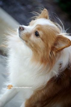 Meet Cooper a Petfinder adoptable Papillon Dog | Livonia, MI | Cooper is a sweet, playful, energetic little guy.  Though he has an old back injury, you would...