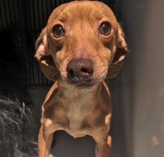 TO BE DESTROYED 04/30/17 ***REASON: SPACE*** 34908452 - Dachshund - 1 years old - #34908452 - FOR MORE PICS, VIDEOS & INFO: http://www.dogsindanger.com/dog/1490202179166