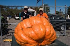 Pumpkins! This one is huge!!