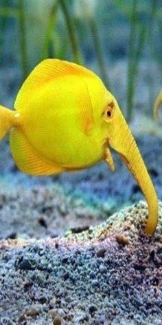 Elephant Fish - Tropical Ocean - https://www.pinterest.com/lpasch/tropical-ocean/