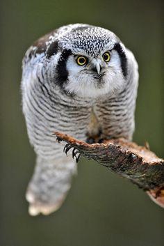 Northern Hawk Owl (Surnia ulula).