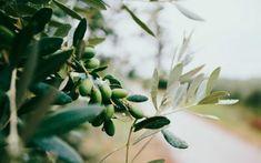 Ελαιοπεριεκτικότητα στον καρπό της ελιάς: Σημαντική πληροφορία στην παραγωγή Fodmap Diet, Low Fodmap, Leaky Gut, Barbie Fairytopia, Cold Pressed Oil, Coconut Benefits, Apricot Kernels, Sports Nutrition, Carrier Oils