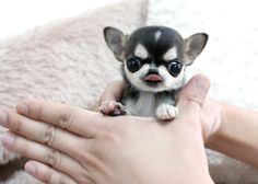Teacup micro puppy