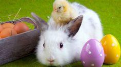 À l'approche de Pâques, la Société protectrice des animaux (SPA) de la Mauricie met en garde la population contre l'idée de donner des lapins vivants en cadeau aux enfants.