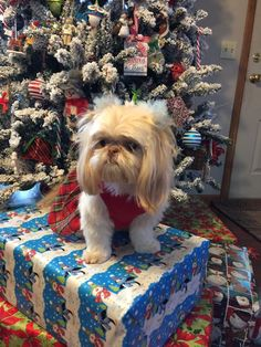 Quality ShihTzu for quality homes for Pets and Therapy dogs. We offer LIFETIME advice for your Glory Ridge ShihTzu. Imperial shihtzu to standard size shihtzu in every color. Us Vets, Therapy Dogs, Shih Tzu, Best Dogs, Fur Babies, Dog Lovers, Merry Christmas, Puppies, Pets