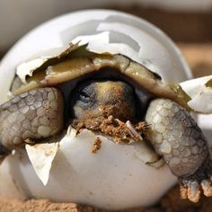 """""""Here's your cute moment for the day: A baby desert tortoise hatches from its egg. Found north and west of the #ColoradoRiver in the #MojaveDesert in…"""""""