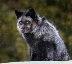 Tibetan Fox Im In Love Foxes Pinterest Foxes Wolf And - 20 striking photographs that reveal the beauty of rare black foxes