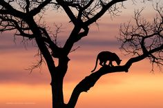 #felizviernes El camino del leopardo, #fotografia de @Squiver en Twitter https://twitter.com/hacerfotos/status/832499828647038976 #nikon #photography
