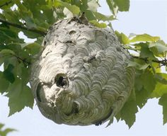 Wasp Nest Removal shouldn't be taken lightly. Learn some natural ways to rid your property of wasp nests as well as products available to make this a DIY job.