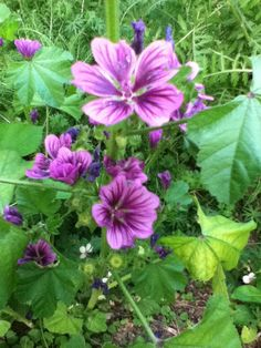 One of my favorites, Malva Sylvestris. It reseeds easily, so I never know where it will show up, but it's always the right place.