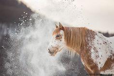 Pretty Appaloosa horse in the misty snow.
