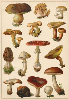 Fab Antique Print Mushrooms Poisonous Fungi Vintage by Artgaze Antique Illustration, Botanical Illustration, Illustration Art, Mushroom Drawing, Mushroom Art, Botanical Drawings, Botanical Prints, Tatto Floral, Posters Vintage