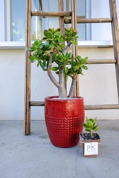 The Jade Plant. A symbol of luck and prosperity. Crassula Succulent, Succulent Bonsai, Crassula Ovata, Bonsai Plants, Succulents Garden, Lucky Plant, Urban Garden Design, Money Plant, Jade Plants