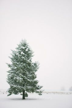 A lone fir stands firm in winter. | Downton Abbey, as seen on Masterpiece PBS
