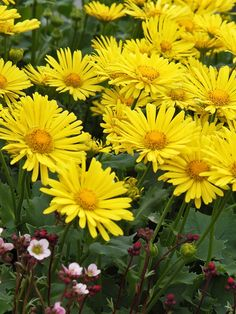 Doronicum orientale Little Leo --- Not very heat tolerant, lasts only years. But it has wonderful yellow flowers in early spring, when nothing else is blooming. Will take clay, part to full shade, likes it moist. Best Perennials, Hardy Perennials, Flowers Perennials, Deer Proof Plants, Rabbit Resistant Plants, Love Flowers, Yellow Flowers, Beautiful Flowers, Shade Garden