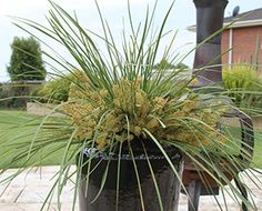 Httplawnclubblog3entry 46 flamin phormium is a tough httplawnclubblog3entry 46 flamin phormium is a tough compact plant with glowing foliage flamin phormium is a mid sized phormium wi altavistaventures Images