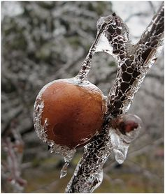 crab apple glazed in ice