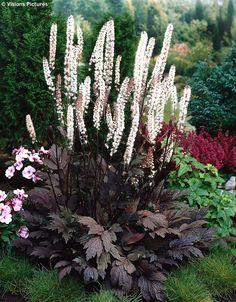 Cimicifuga ramosa 'Brunette' (Zilverkaars) wordt tot 180 cm. maar dan hebben we het wel over de lange bloemaren die in september en oktober verschijnen.