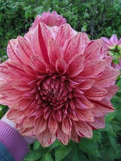 Dahlia flower – #learn 2 #grow #dahlia http://www.growplants.org/growing/dahlia