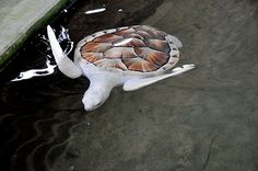 Mystic White Sri Lankan Sea Turtles (The sea turtle was being held at a turtle conservation site south of Colombo because it wouldn't survive in the wild without its color to camouflage it from predators.)