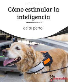 Cómo estimular la inteligencia de tu perro - Mis Animales Hay diferentes juegos con los que podemos estimular la inteligencia de tu perro, ejercitando su mente y fomentando su aprendizaje. #inteligencia #estimular #adiestramiento
