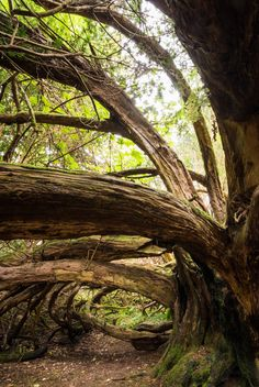 The Craigends Yew   The Craigends Yew at Houston... -                                         The Woodland Trust