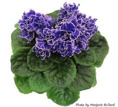 Sucker put down 9-2015 grape glory african violet - Google Search