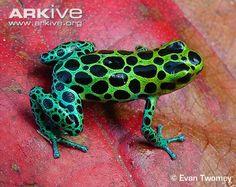 zimmerman's poison frog