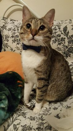 And a cat with a bowtie! Have a cat with a bowtie!